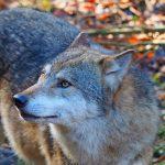 Tutto è iniziato con Slavc e Giulietta: la prima coppia di lupi insediatasi in Veneto 5 anni fa
